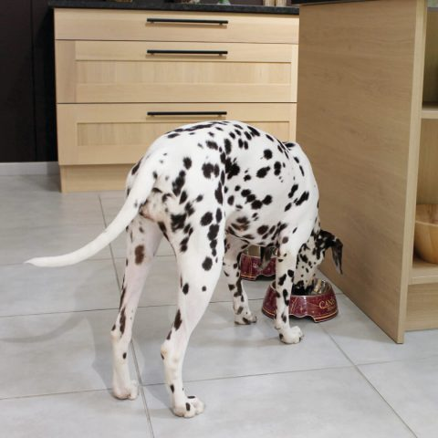Dalmatian eating from designer red bowls